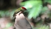 Striped Manakin (Machaeropterus regulus) captured-and-released by researchers at Hidroituango dam