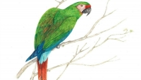 Artist's Drawing of Military Macaw (Ara Militaris) Seen Near Hidroituango