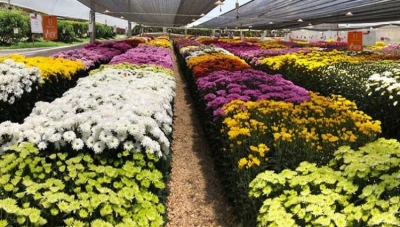 Antioquia's Cut-Flowers Export Industry Aims for May 2020 Rebound