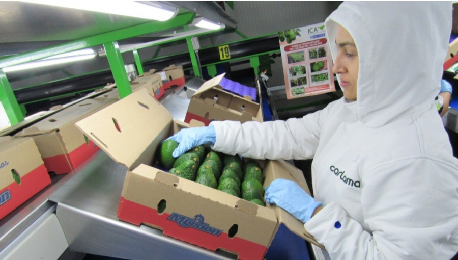 Cartama Hass Avocado Packing for Export