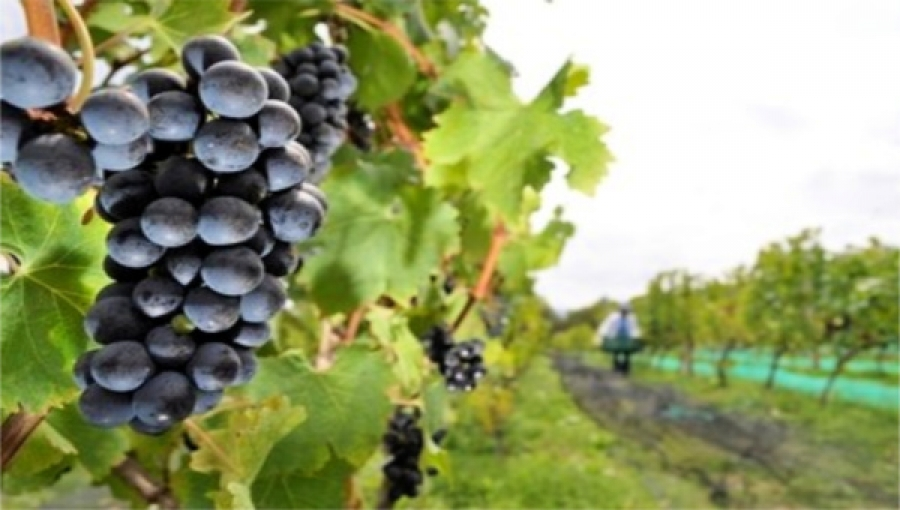 Wine Production Growing in Antioquia & Elsewhere in Colombia